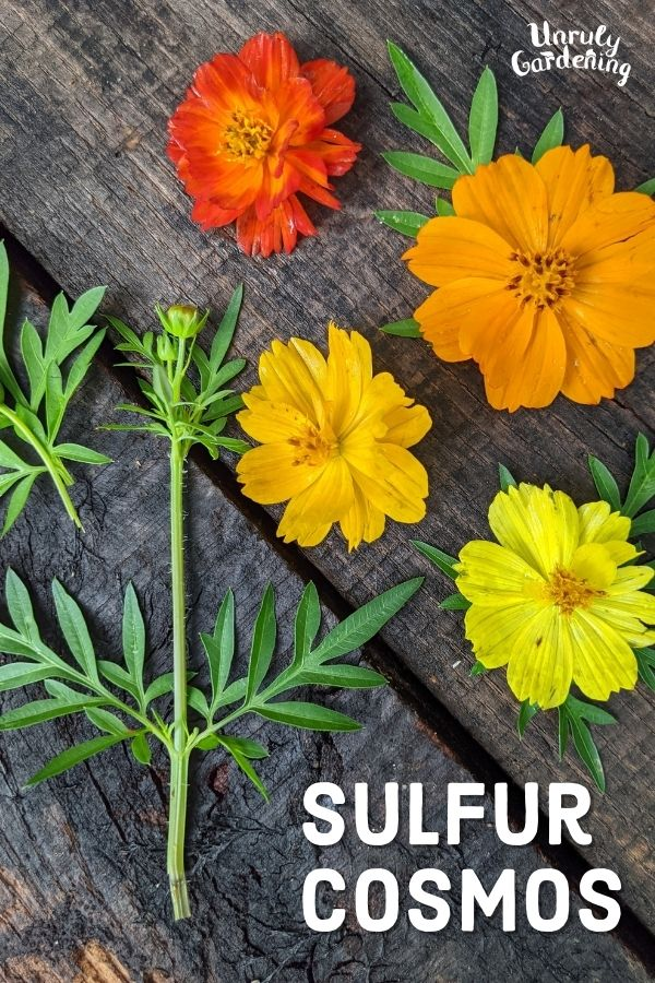 Sulfur Cosmos flowers and leaves