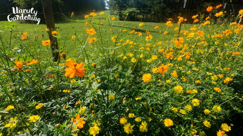 patch of orange and yellow cosmos
